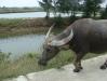 Buffalo in Hoi An
